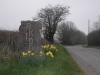 Daffodils at Priddy
