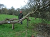 Restoring a fallen apple tree